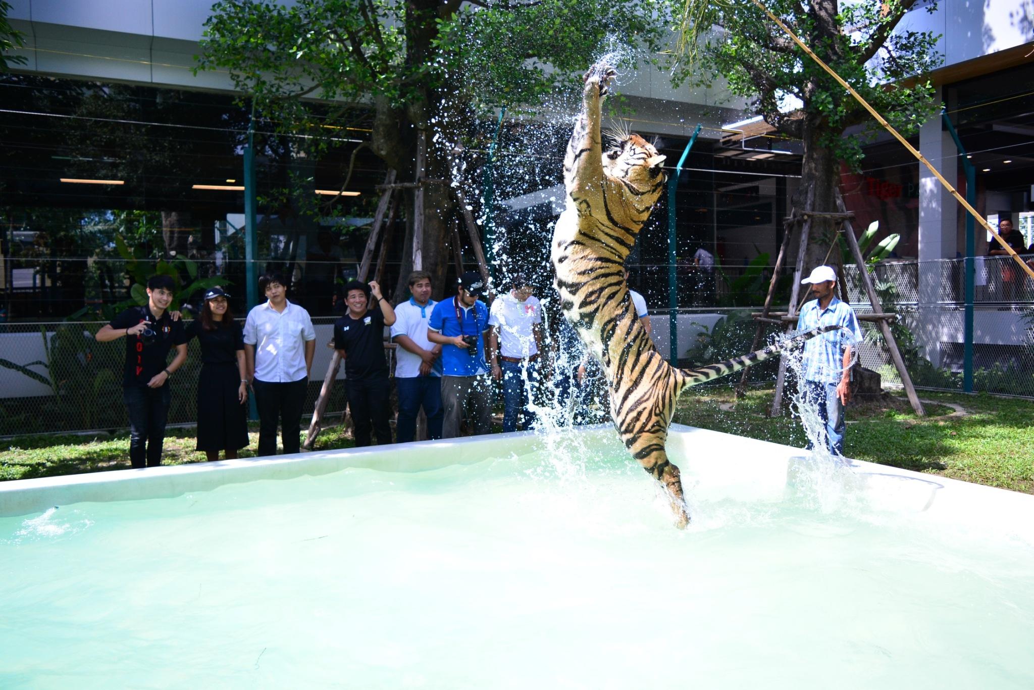 จิบกาแฟ ดูเสือ เล่นกับเสือได้ที่ Tiger Park Pattaya - Pattaya News